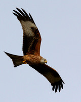 Gigrin Farm Red Kites
