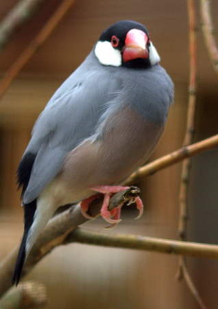 Java Sparrow a.k.a. Java Finch (Indonesia)