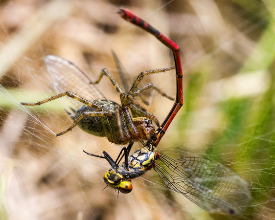 Lunching on Large Red Damselfly