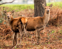 Red Hinds